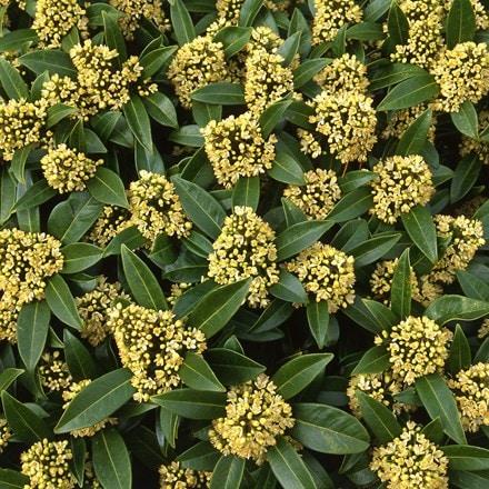 Skimmia × confusa Kew Green