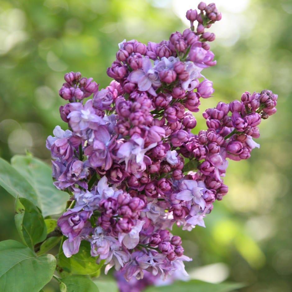 Buy Common Lilac Syringa Vulgaris Charles Joly 163 15 99