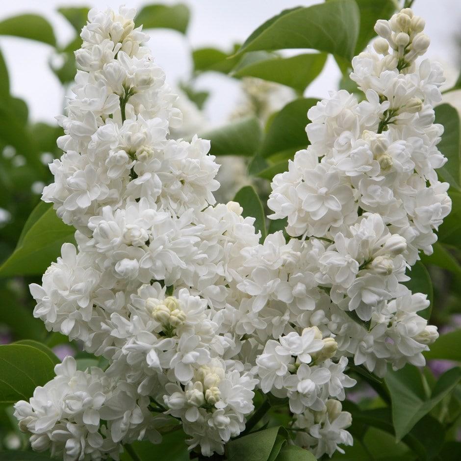 Buy common lilac syringa vulgaris madame lemoine 1999 delivery by zoom mightylinksfo