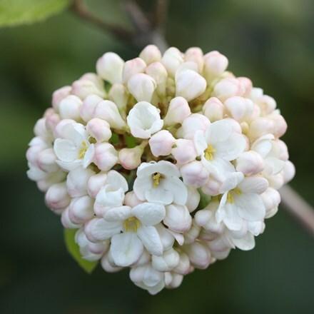 Viburnum × carlcephalum
