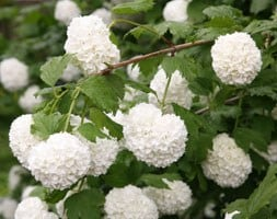 snowball tree (syn. Sterile)