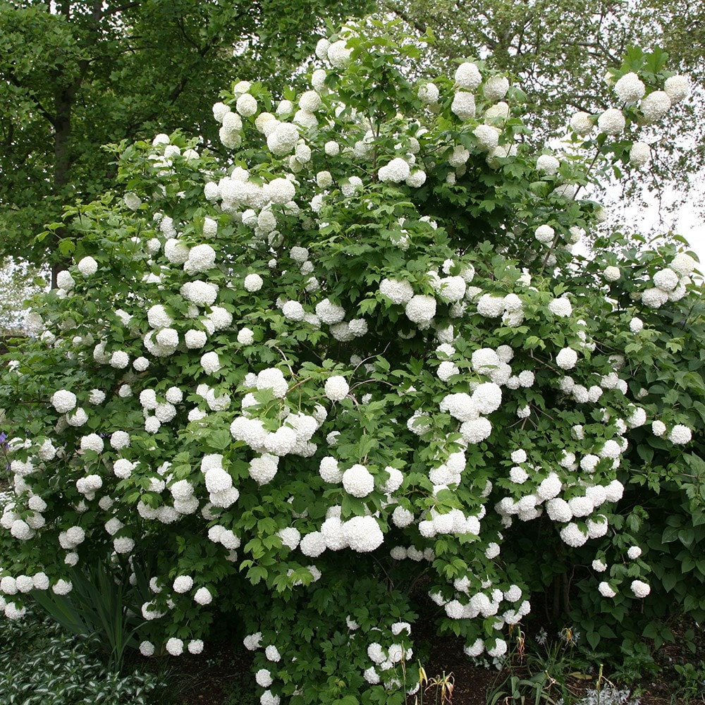 buy snowball tree syn sterile viburnum opulus roseum delivery by crocus. Black Bedroom Furniture Sets. Home Design Ideas