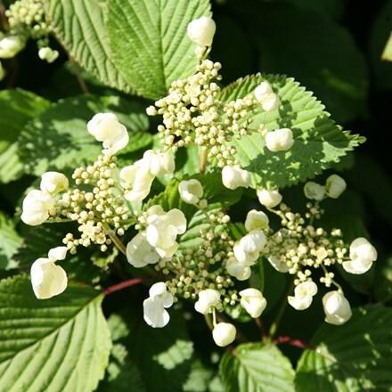 Viburnum plicatum f. tomentosum Mariesii
