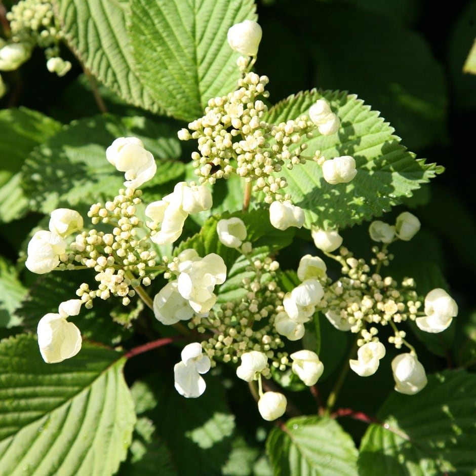 Japanese snowball bush