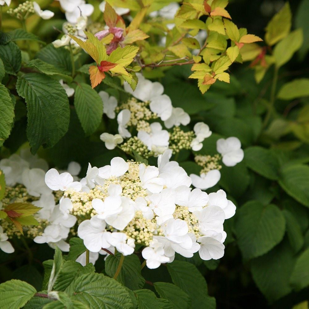 Buy Japanese Snowball Bush Viburnum Plicatum F Tomentosum