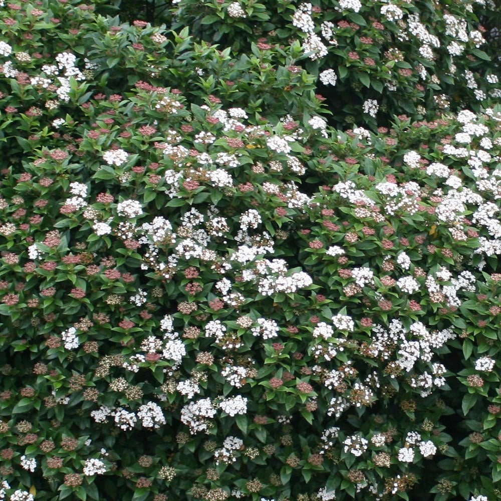 Buy laurustinus viburnum tinus 39 eve price 39 delivery by waitrose garden in association with crocus - Viburnum tinus eve price ...