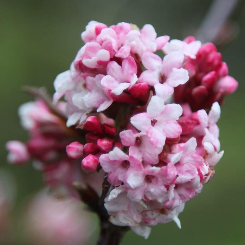 Buy viburnum viburnum bodnantense dawn 1499 delivery by crocus viburnum bodnantense dawn mightylinksfo
