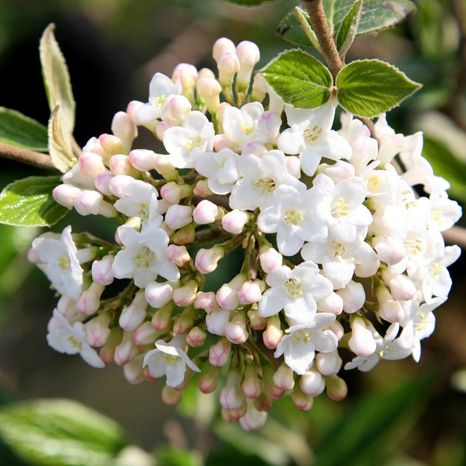 Buy burkwood viburnum viburnum burkwoodii for Plants and shrubs
