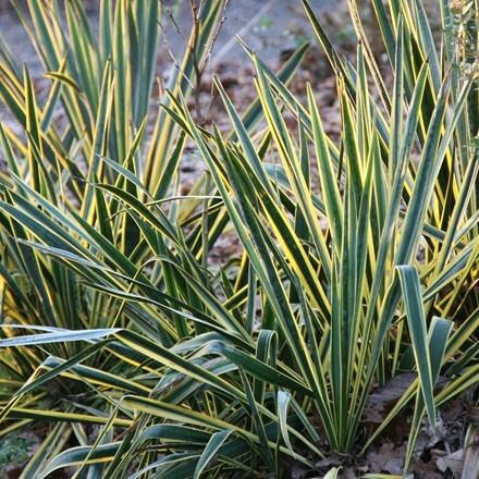 Yucca filamentosa Bright Edge