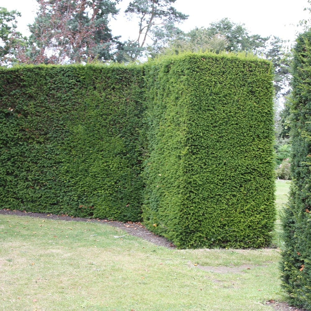 Buy English Yew Taxus Baccata 163 12 99 Delivery By Crocus