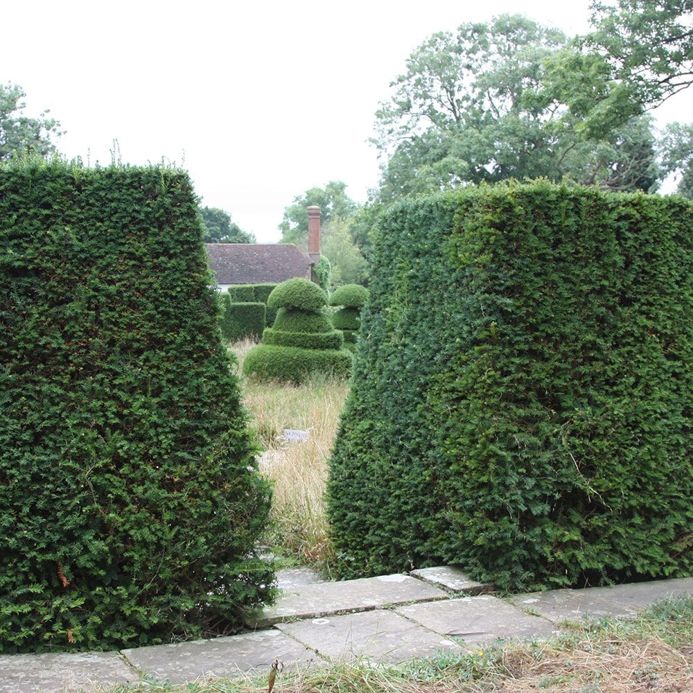 buy english yew taxus baccata delivery by waitrose garden. Black Bedroom Furniture Sets. Home Design Ideas