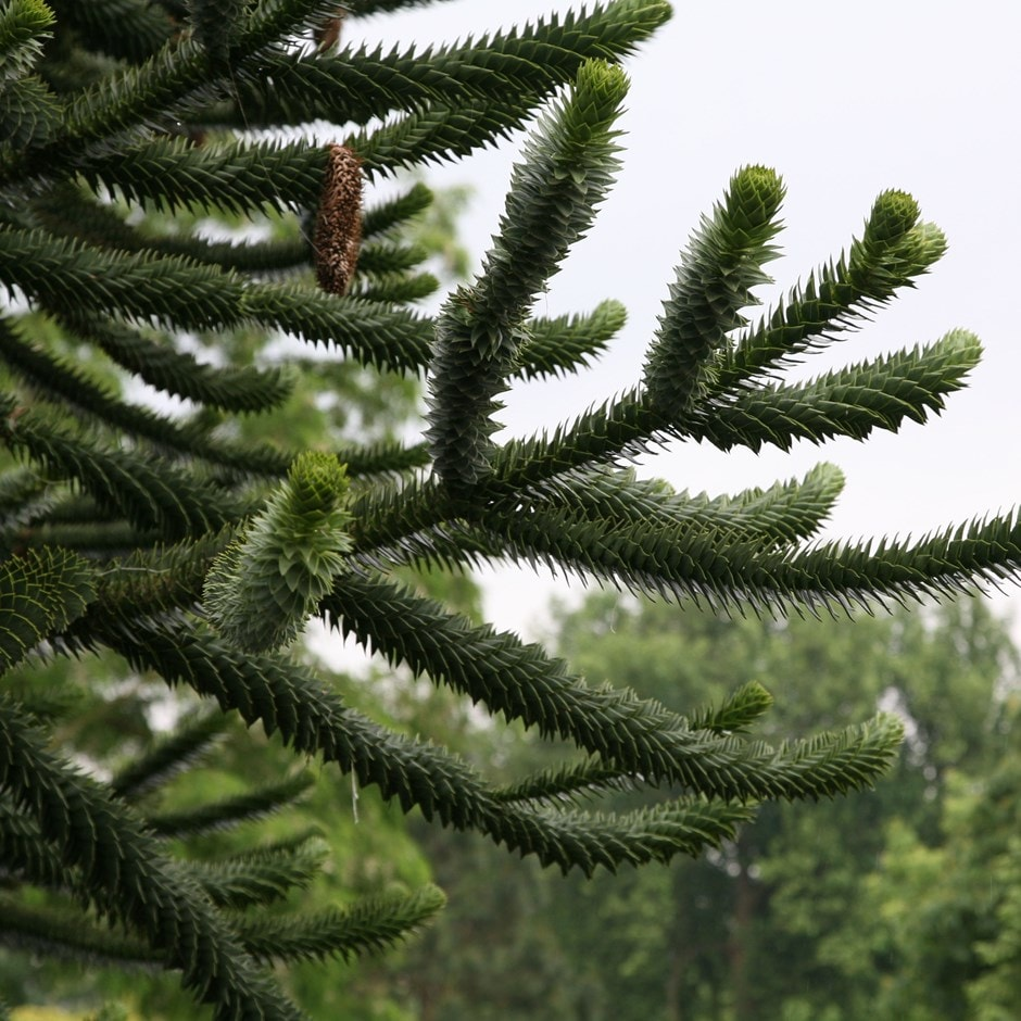 Buy Monkey Puzzle Araucaria Araucana 163 34 99 Delivery By