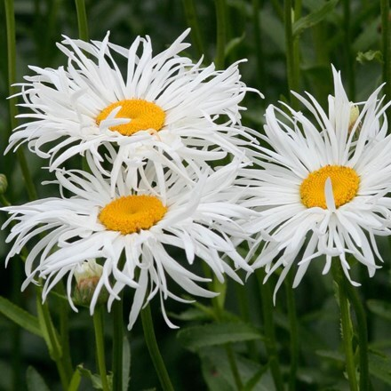 Leucanthemum × superbum Phyllis Smith