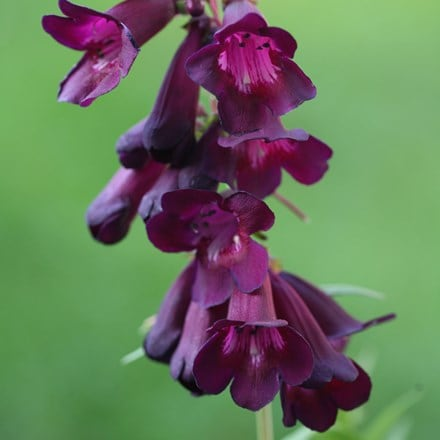 Penstemon Raven (Bird Series)