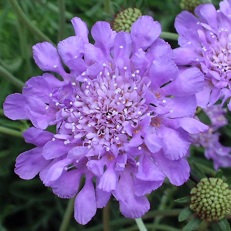 Buy Pincushion Flower Scabiosa Butterfly Blue