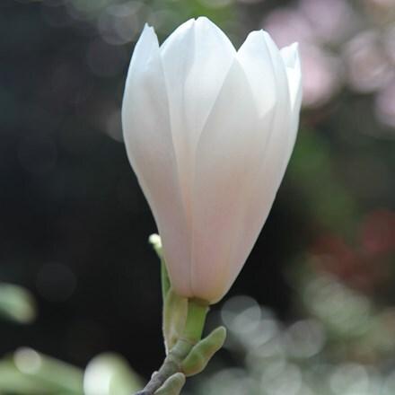 Magnolia × soulangeana Alba Superba