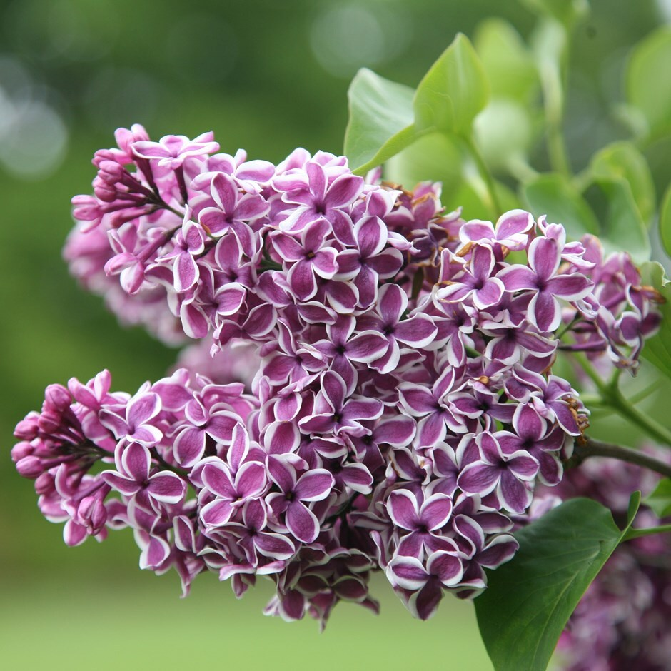 buy common lilac syringa vulgaris sensation delivery by crocus. Black Bedroom Furniture Sets. Home Design Ideas