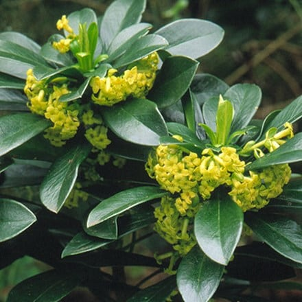 Daphne laureola subsp philippi