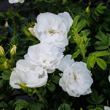 Rosa Blanche Double de Coubert