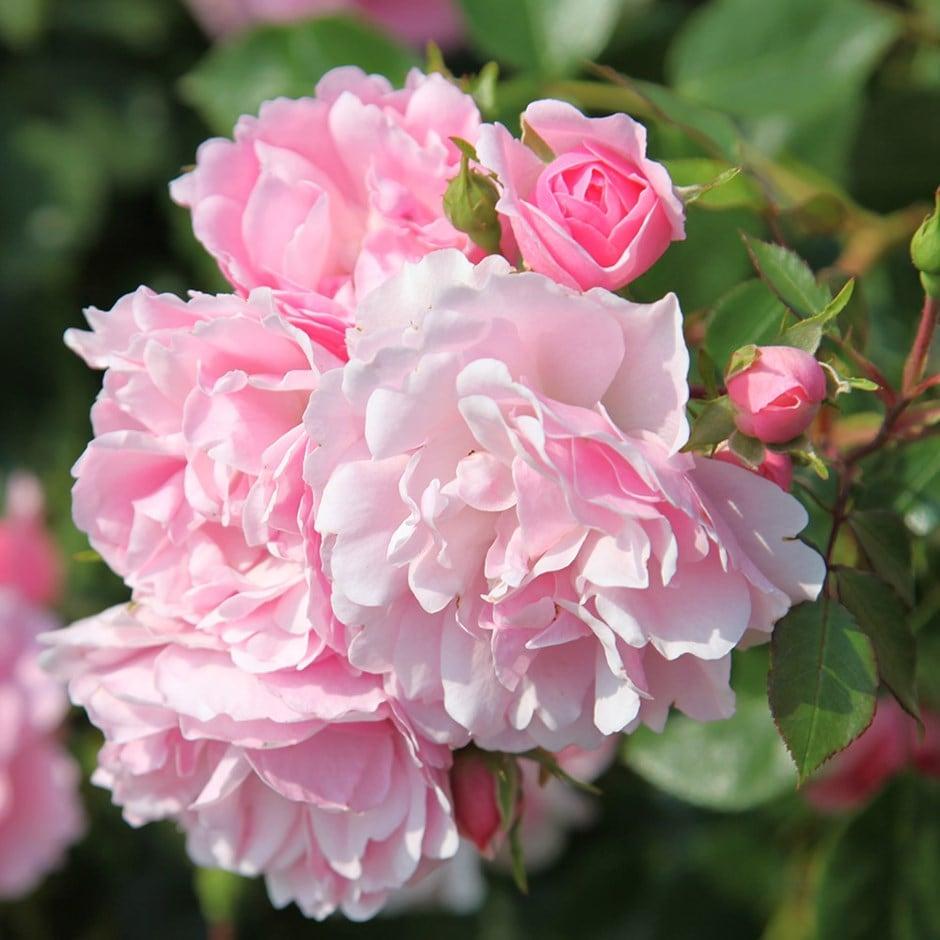 rose Bonica (shrub)