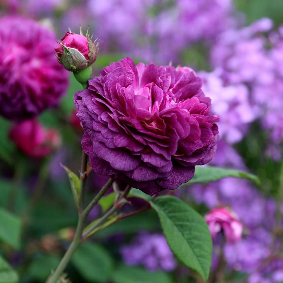 Buy Rose Cardinal De Richelieu Gallica Rosa Cardinal De