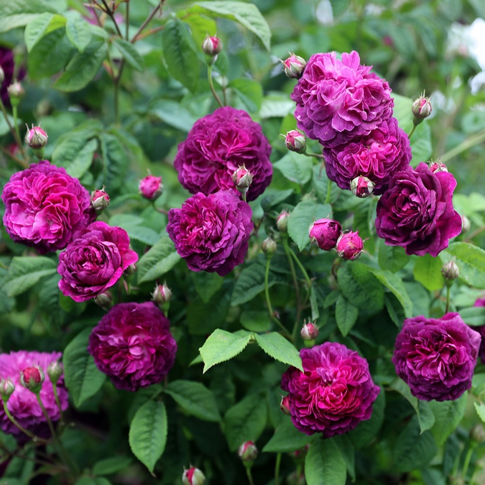 Buy Rose Cardinal De Richelieu Gallica Rosa Cardinal De Richelieu