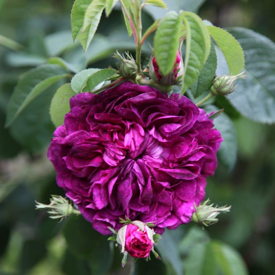 rose Charles de Mills (gallica)