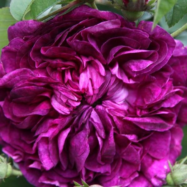buy rose charles de mills gallica rosa charles de mills. Black Bedroom Furniture Sets. Home Design Ideas