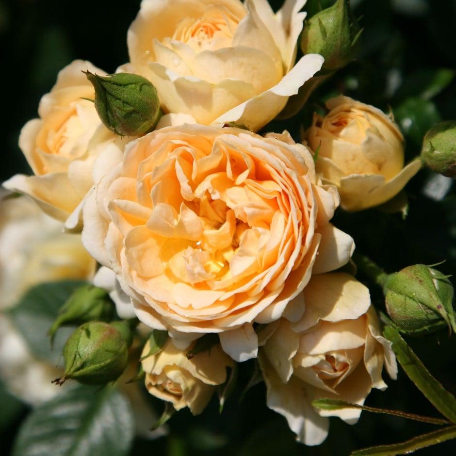 Buy Rose Happy Birthday Patio Rosa Happy Birthday Min