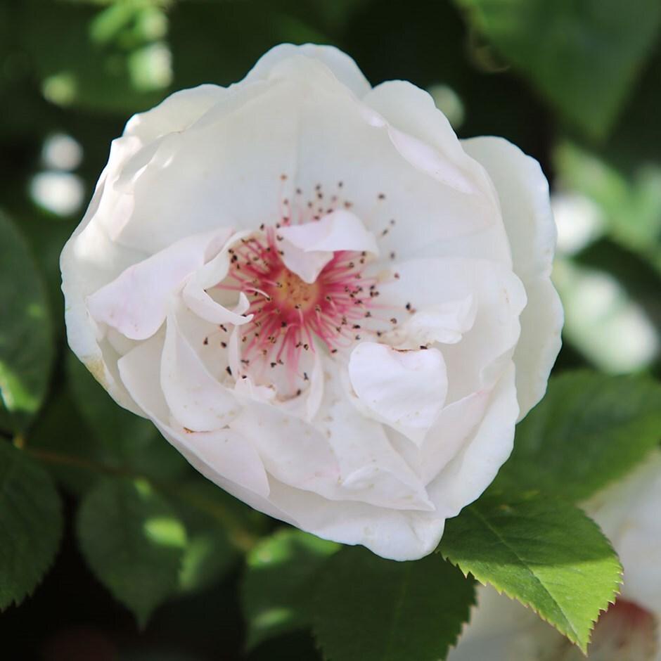 rose Jacqueline Du Pré (shrub)