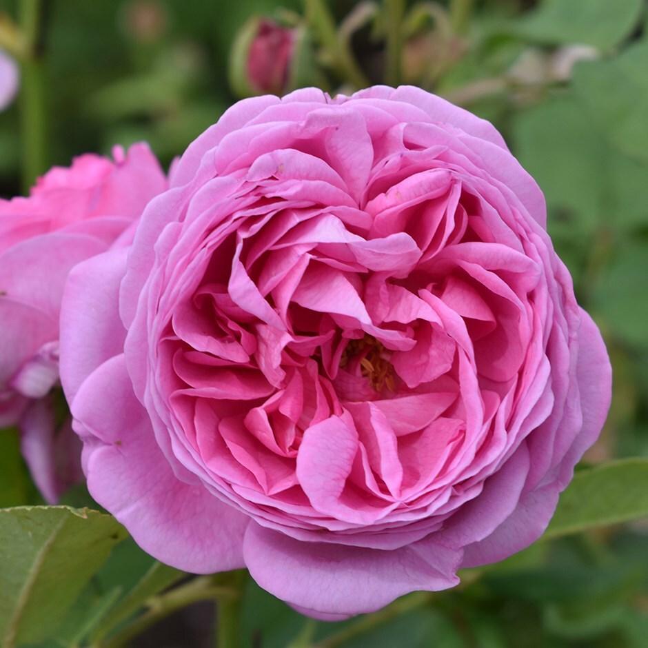 rose Louise Odier (bourbon)