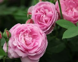 rose Louise Odier (bourbon)