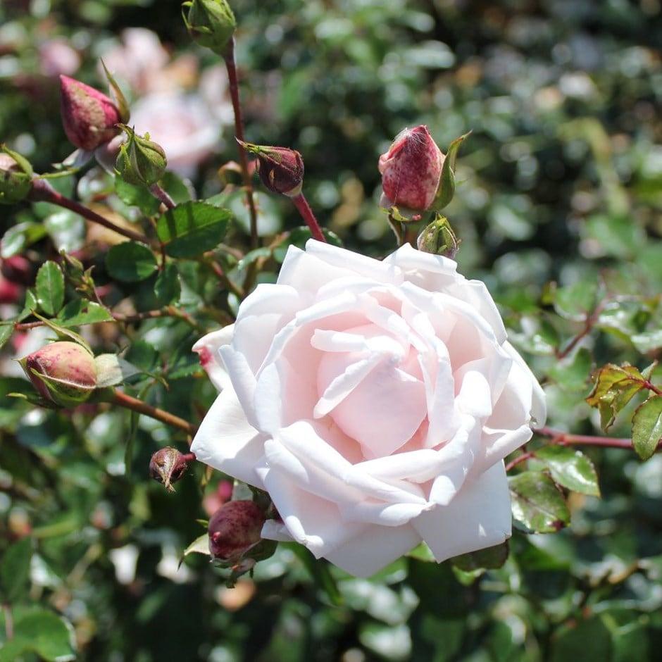 rose New Dawn (climbing)