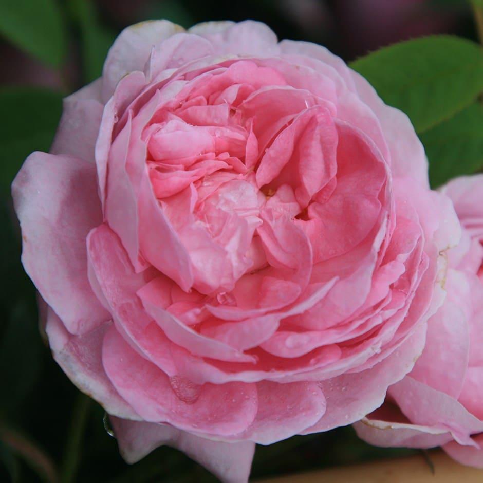 rose Queen of Denmark (shrub)