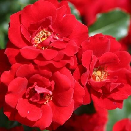 Rosa Ruby Anniversary ('Harbonny') (PBR)