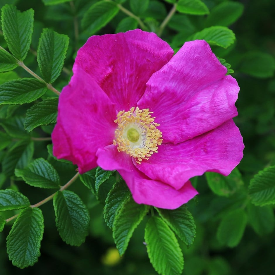 Buy red japanese rose shrub rosa rugosa 39 rubra 39 delivery by crocus - When to plant roses ...