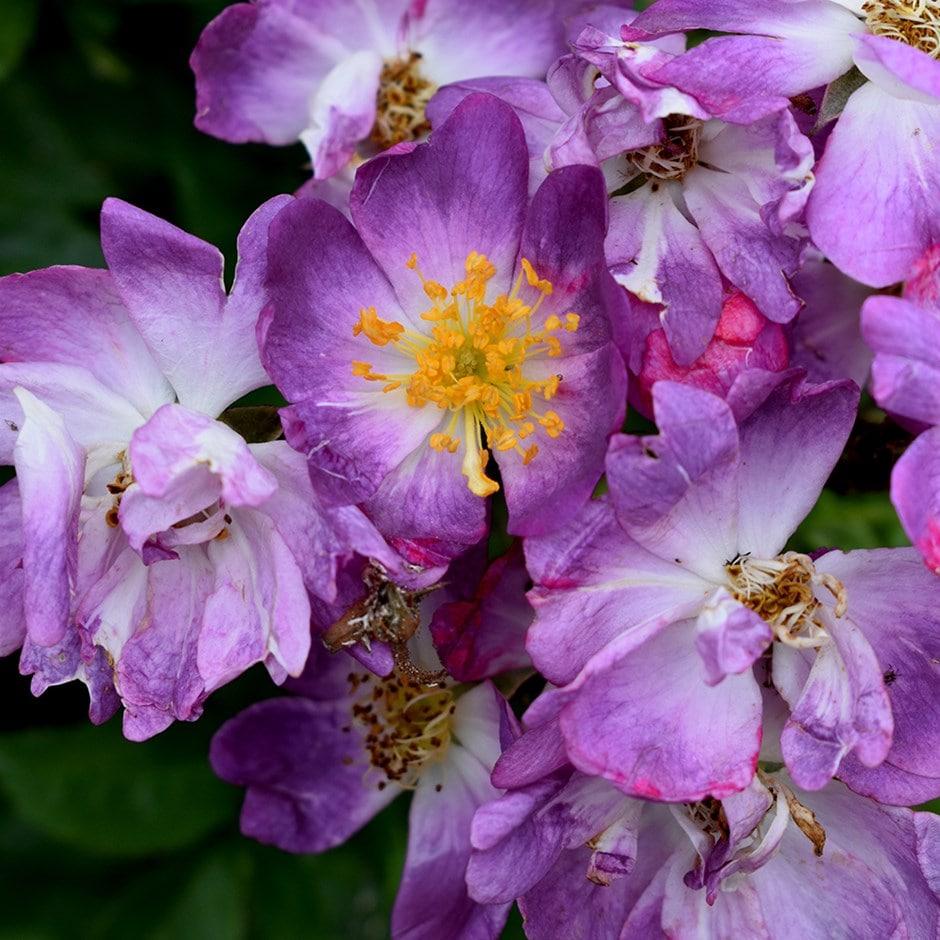 Buy rose Veilchenblau (rambler) Rosa Veilchenblau: £19.99