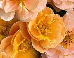 rose Flower Carpet Amber (ground cover rose)