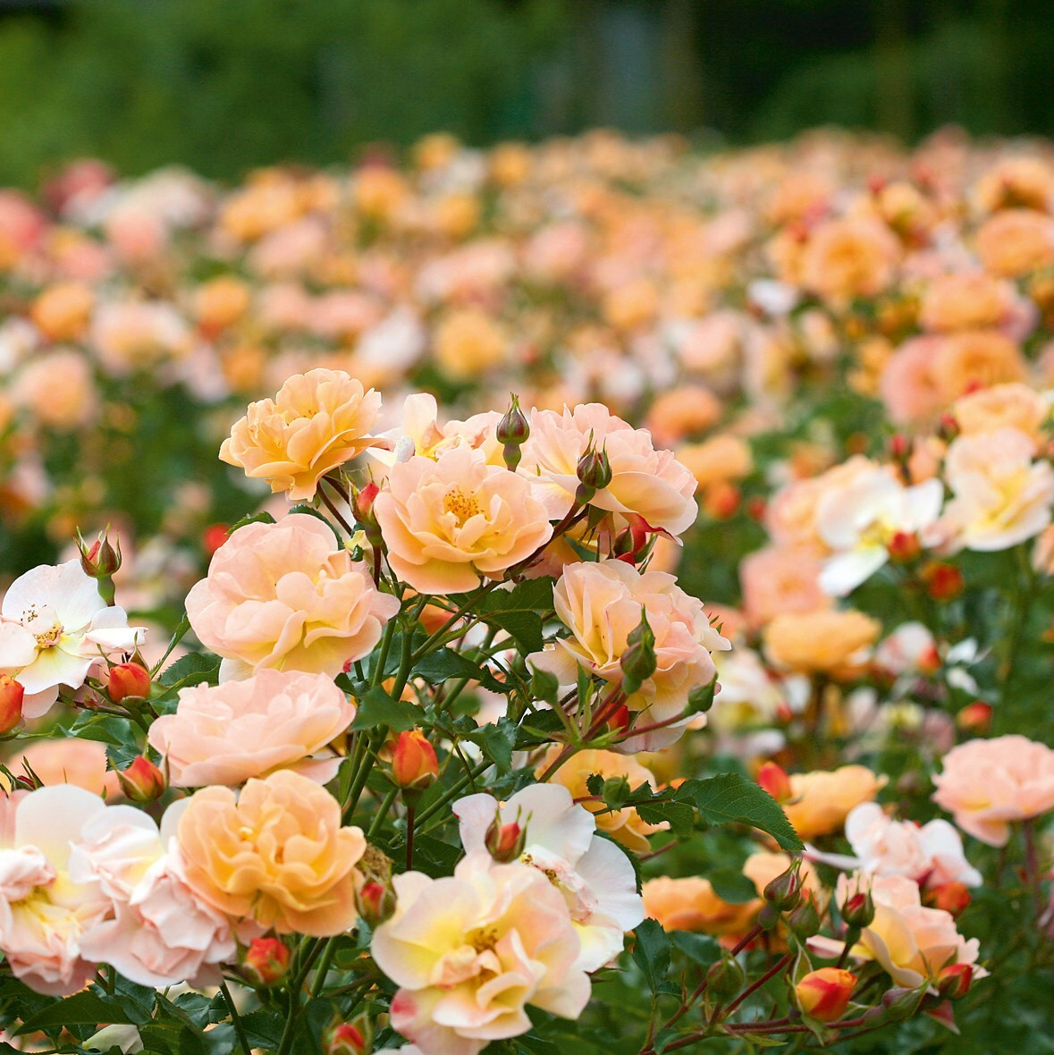 Buy Rose Flower Carpet Amber Ground Cover Rose Rosa Flower Carpet
