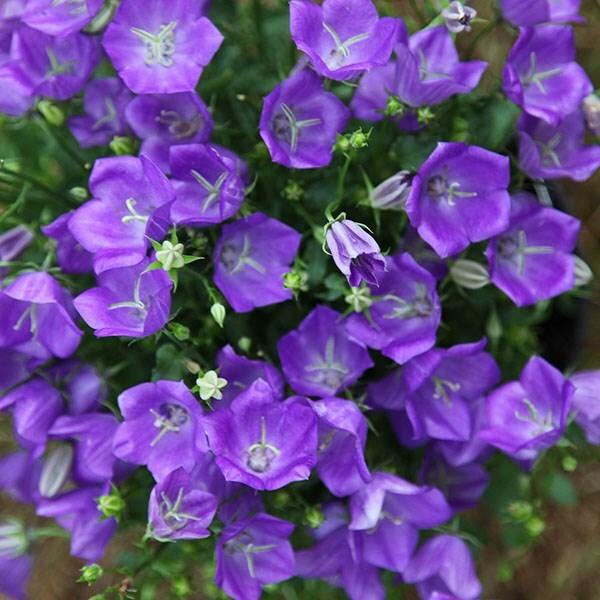 buy bellflower campanula carpatica blaue clips   u00a311 99