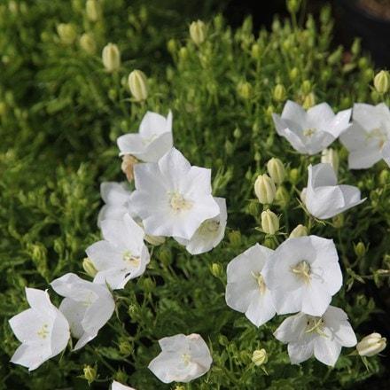 Campanula carpatica f. alba Weisse Clips