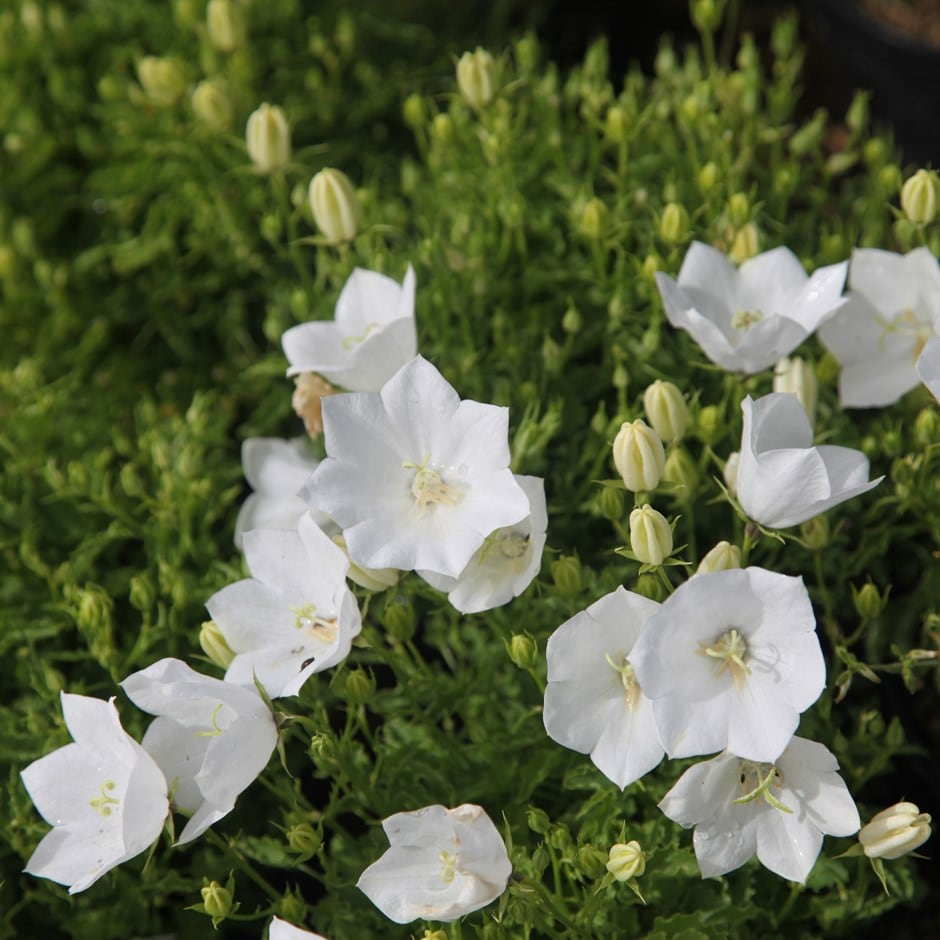 Buy Bellflower Campanula Carpatica F Alba Weisse Clips 599