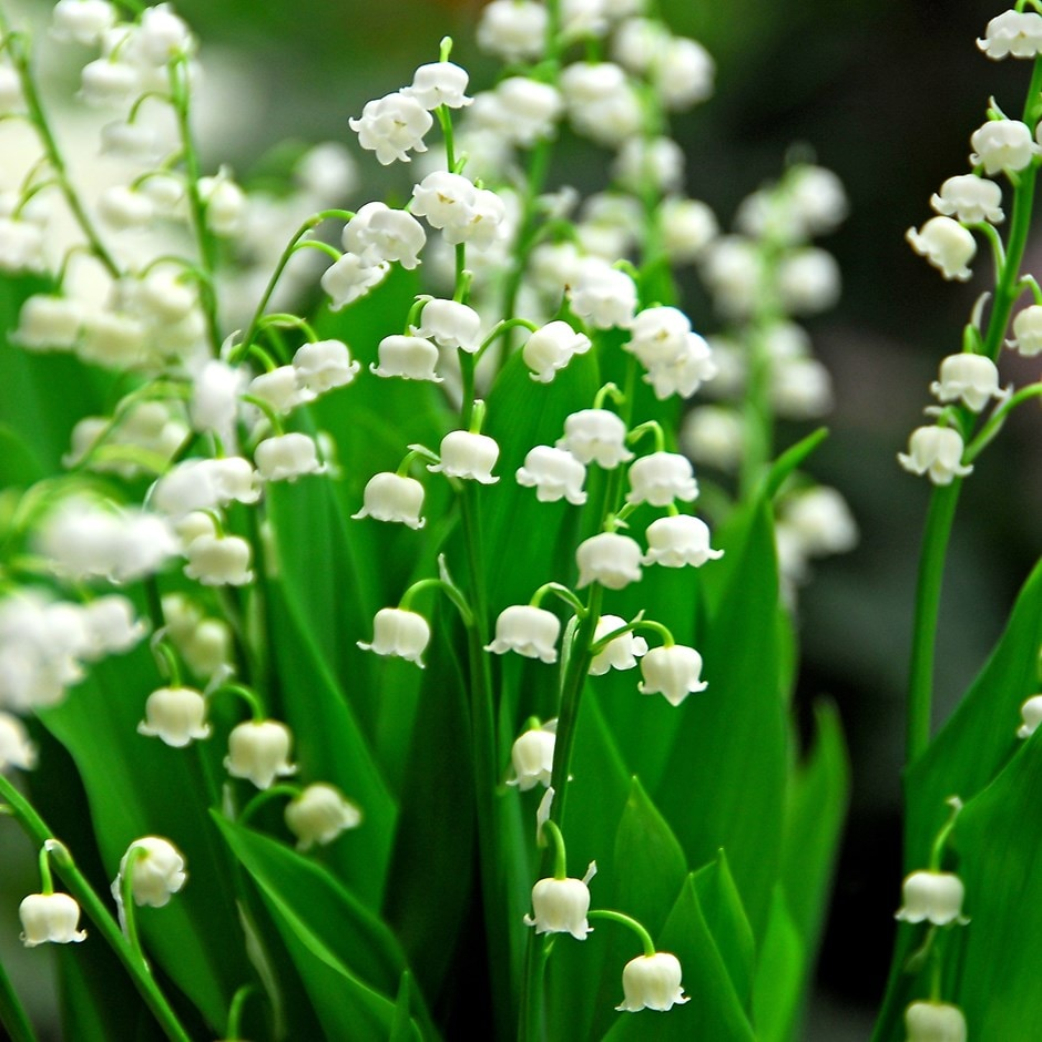 buy lily of the valley convallaria majalis delivery by waitrose garden in association with crocus. Black Bedroom Furniture Sets. Home Design Ideas