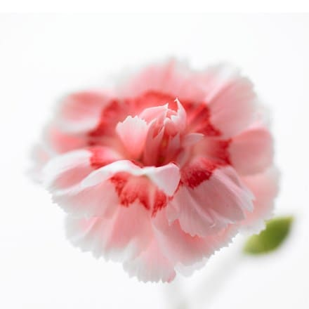 Dianthus (Allwoodii Group) Doris