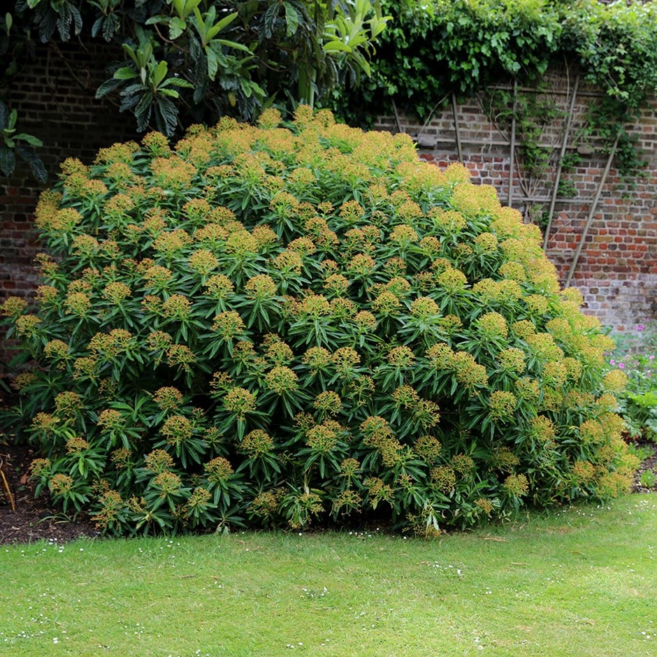 honey spurge