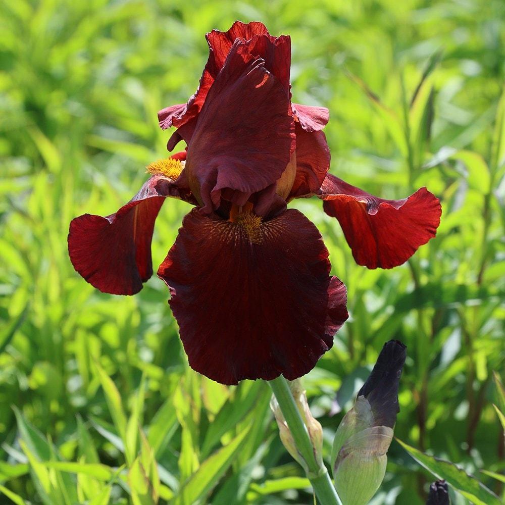 2 Black Bearded Iris Bulbs Roots Bonsai Flower Plant Home Garden Decor Indoor