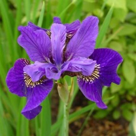 Iris sibirica Ruffled Velvet