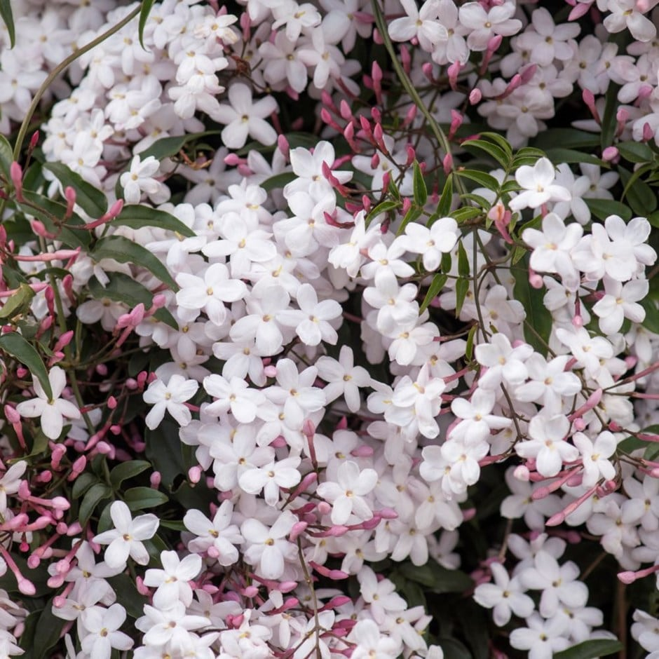 Buy Scented Chinese Jasmine Jasminum Polyanthum 1699 Delivery By