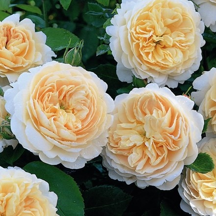 Rosa Crocus Rose ('Ausquest') (PBR)