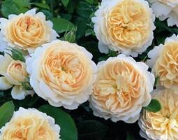Rosa Crocus Rose ('Ausquest') (PBR)